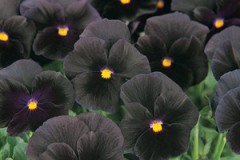 Misc. Pansy