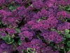 Artist Purple