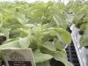 Stevia Sweet Leaf