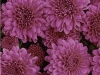 Adonis Purple
