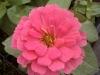 Magellan Pink