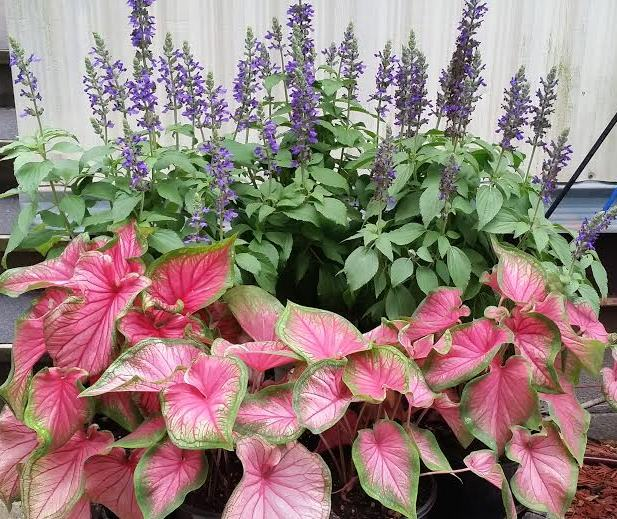 salvia mystic spires and caladium sweetheart both great full sun, Beautiful flower
